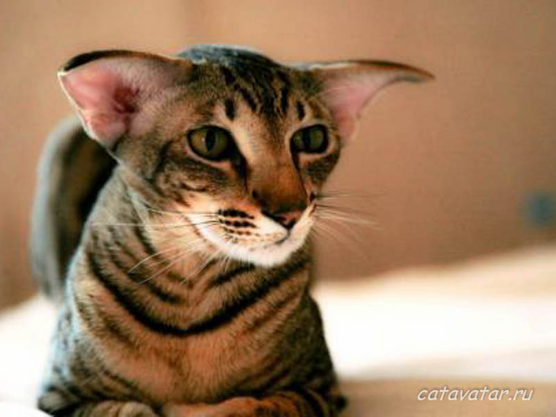 Ориентальный кот в новом доме. Питомник ориентальных кошек в Москве. Купить ориентального котёнка.Ориентальные кошки. Ориентальный котёнок. Истории о кошках. Фото ориентальных кошек.