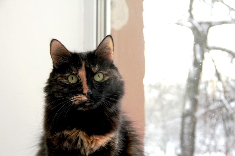 Фото ориентальных кошек, котов и котят.