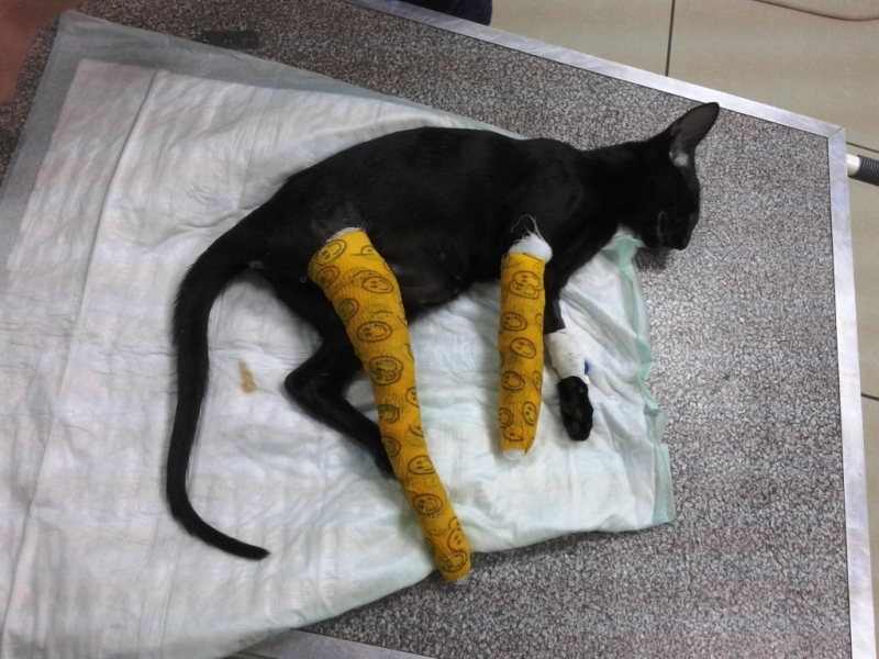 Котёнок сломал ногу. Питомник ориентальных кошек в Москве.