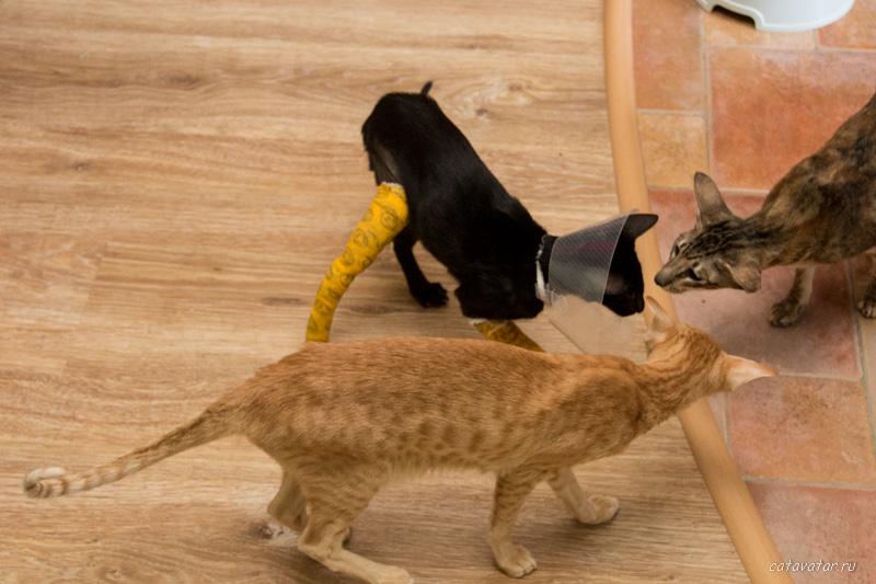 Ориентальный котёнок сломал ноги. Что делать. Питомник ориентальных кошек в Москве.