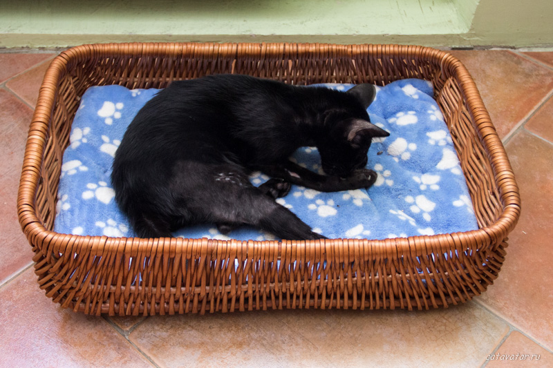 Ориентальный котёнок сломал ногу. Что делать. Питомник ориентальных котят в Москве.