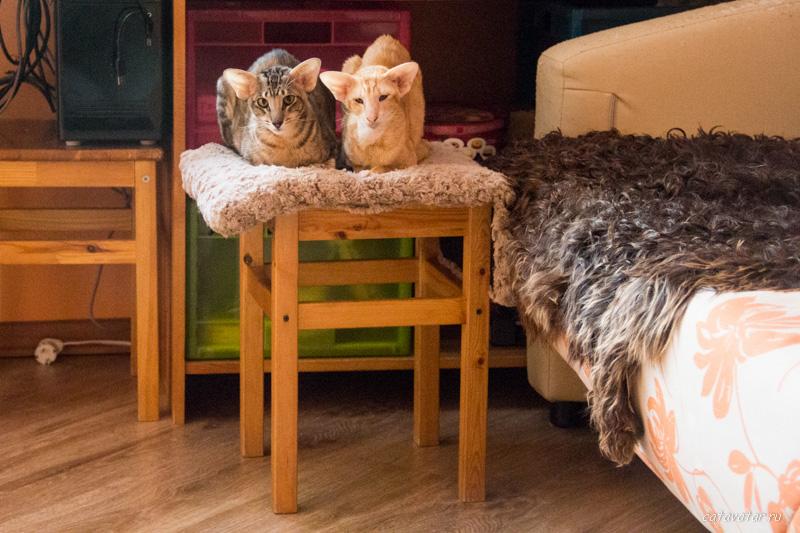 Политическое строительство в питомнике ориентальных кошек. Купить ориентальных котят. Ориентальные кошки.