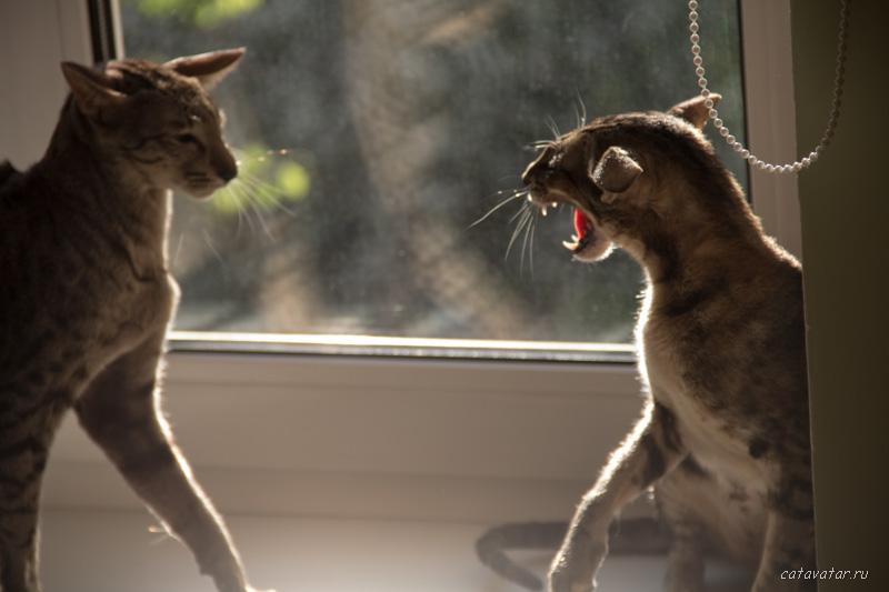 Ориентальные кошки. Питомник ориентальных кошек в Москве. Ориентальные котята. Купить ориентального котёнка. Фотографии ориентальных кошек и котят.