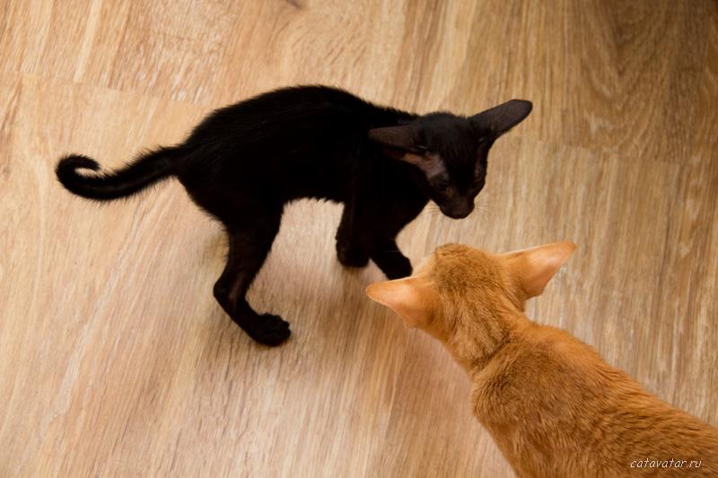 Знакомство ориентальных котят с взрослой кошкой. Питомник ориентальных кошек в Москве. Купить ориентального котёнка.Ориентальные кошки. Ориентальный котёнок. Истории о кошках. Фото ориентальных кошек.