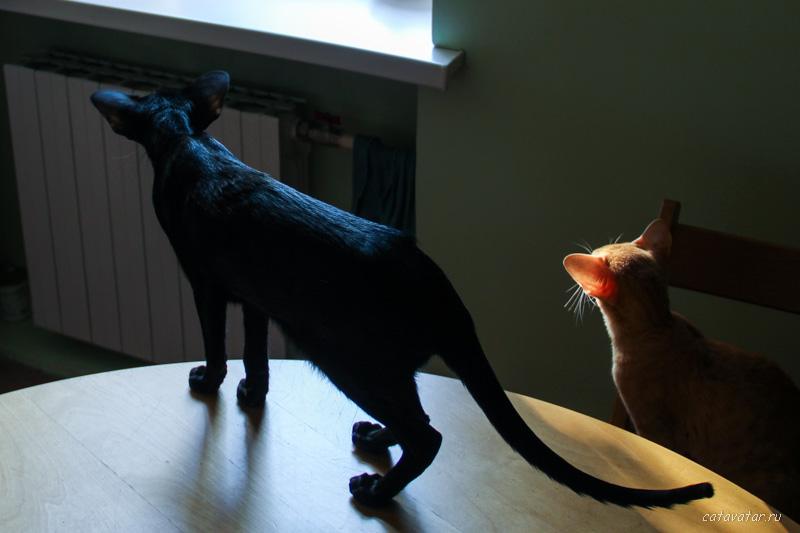 Ориентальная кошка в вечернем свете. Питомник ориентальных кошек в Москве. Купить ориентального котёнка.