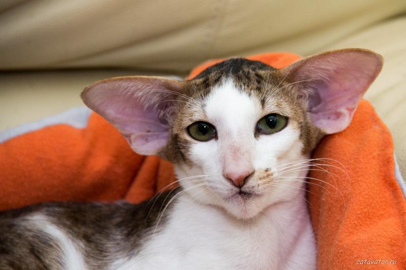 Кот в доме. Питомник ориентальных кошек в Москве. Купить котёнка.Истории и фотографии о жизни кошек.