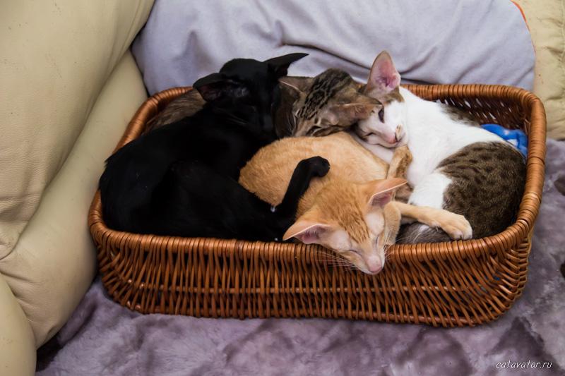 Дружба кошек. Питомник ориентальных кошек в Москве. Купить котёнка.Истории и фотографии о жизни кошек.