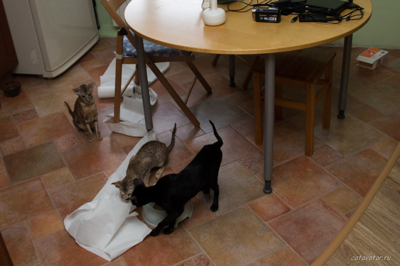Ориентальные кошки. Ориентальные котята. Купить ориентального котёнка. Питомник ориентальных кошек в Москве.