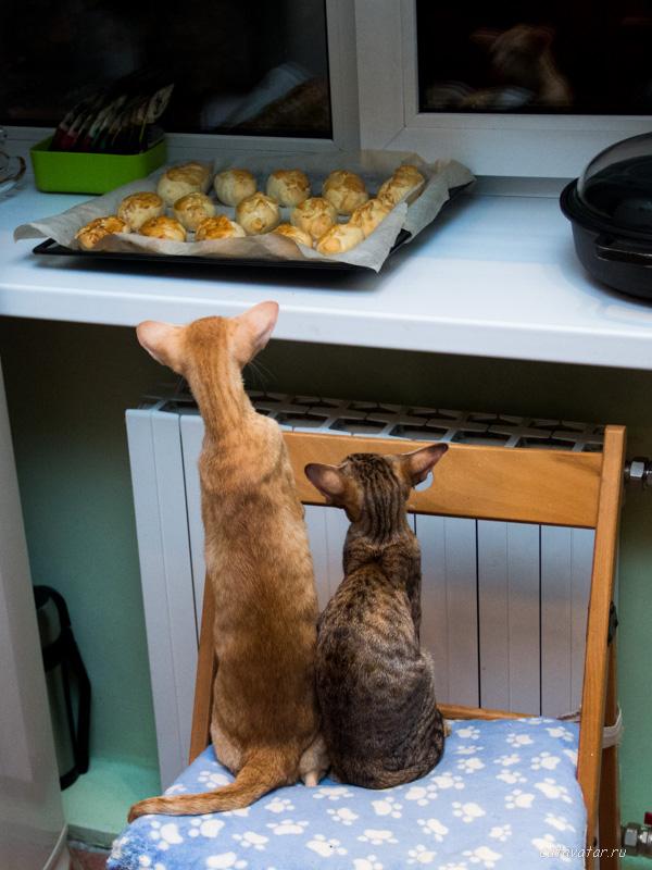 Ориентальные кошки. Купить ориентального котёнка. Питомник ориентальных кошек в Москве. Кошки просят кушать.