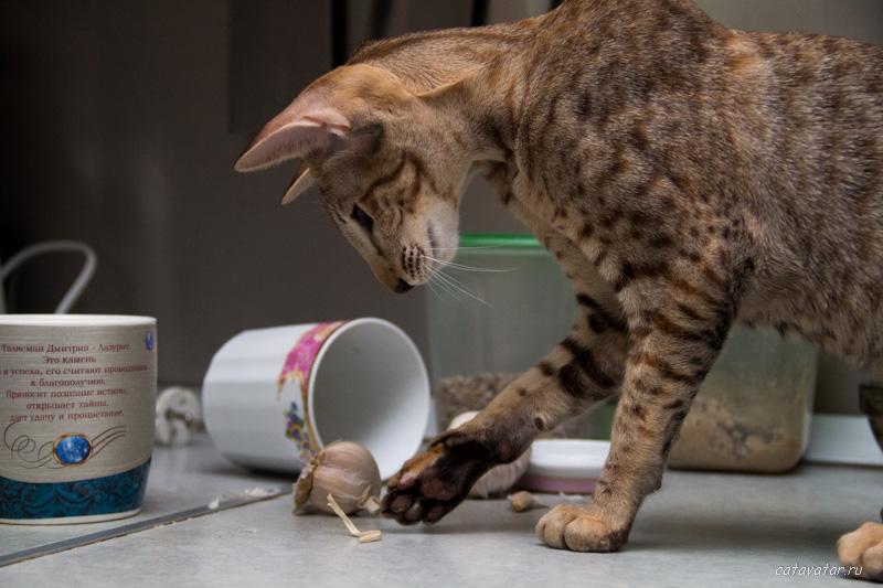 Ориентальные кошки. ориентальные котята. Купить ориентального котёнка. Питомник ориентальных котят в Москве. Рассказы о кошках.