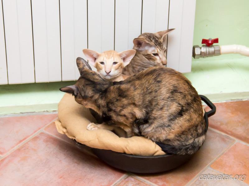 Кошки лежат около батареи. Питомник ориентальных кошек в Москве. Купить котёнка.Истории и фотографии о жизни кошек.