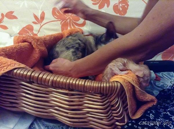 Кошка рожает. Питомник ориентальных кошек в Москве. Купить ориентального котёнка. Ориентальные котята. Ориентальные кошки. Фото ориентальных кошек.
