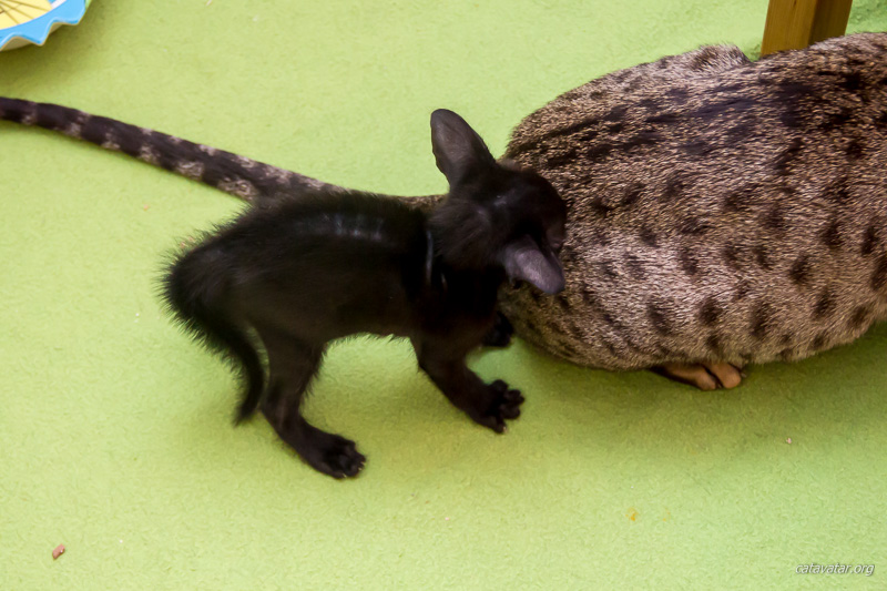 Питомник ориентальных кошек в Москве. Купить ориентального котёнка. Фото ориентальных кошек. Ориентальный котёнок. Ориентальные кошки.