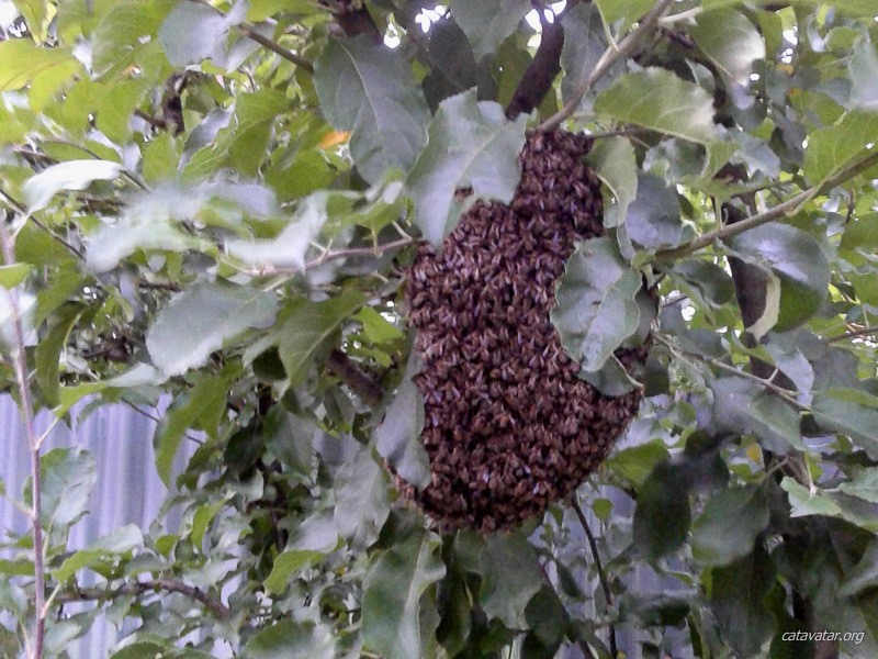 Пчелиный рой на яблоне. Питомник ориентальных кошек Аватар.