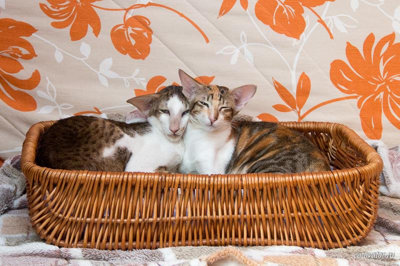 Ориентальные кошки питомника Аватар