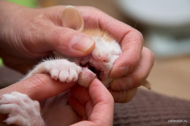 У котят появились зубы. Ориентальные котята питомника Аватар.