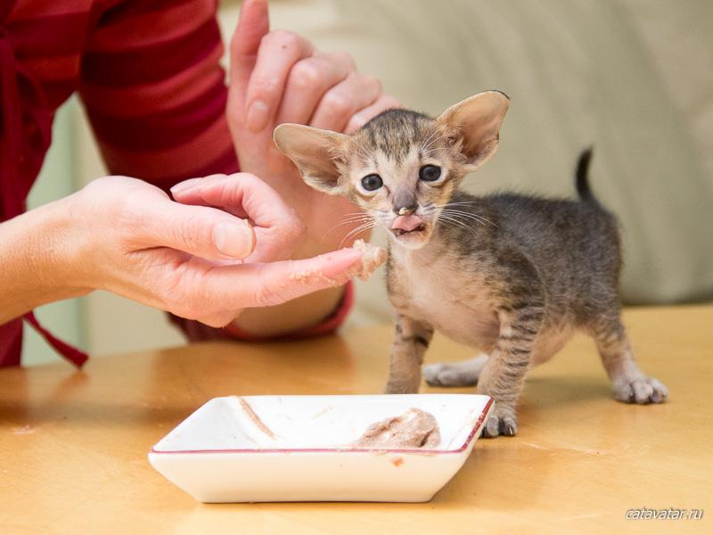 Ориентальные котята переходят на взрослый корм. Питомник ориентальных кошек Аватар.