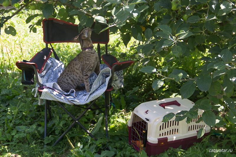 Ориентальная кошка на даче. Ориентальные котята. Ориентальные кошки. Питомник ориентальных кошек в Москве. Купить ориентального котёнка. Фото ориентальных кошек.