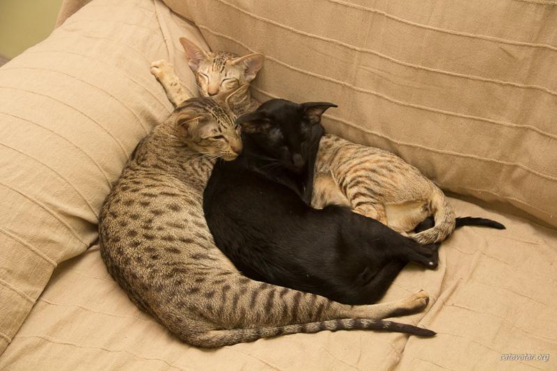 Ориентальные кошки и телевизор. Ориентальные котята. Ориентальные кошки. Питомник ориентальных котят в Москве. Кошкин дом.