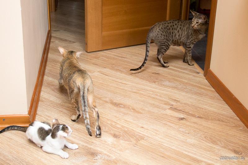 Ориентальные котята. Ориентальные кошки. Питомник ориентальных кошек в Москве. Купить ориентального котенка. Кошкин дом.