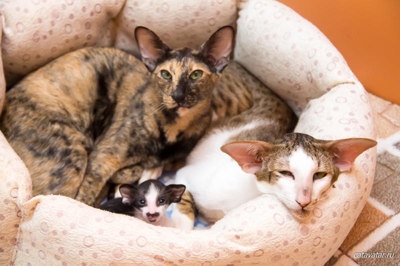Семья ориентальных котеек - папа, мама и сынок. Купить ориентального котёнка. Питомник ориентальных кошек в Москве. Дом для кота.