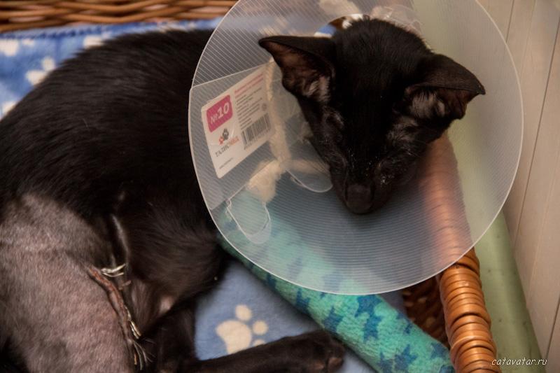 Ориентальный котенок сломал ноги и теперь сидит в воротнике. Купить ориентального котёнка. Питомник ориентальных кошек в Москве. Дом для кота.