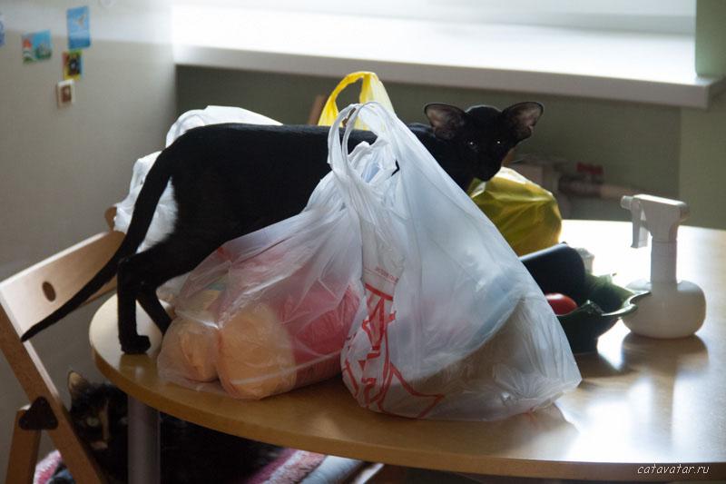 ориентальная кошка ходи по столу. Купить ориентального котёнка. Питомник ориентальных кошек в Москве. Дом для кота.