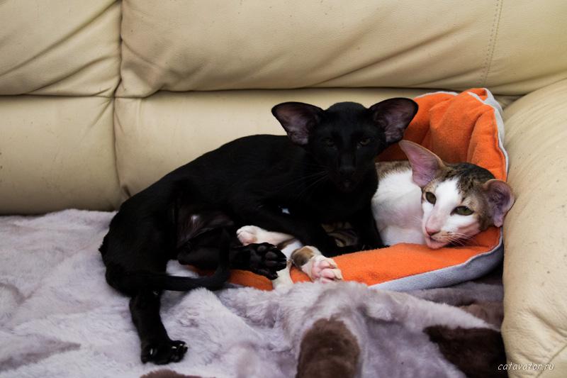 Ориентальный кот и ориентальная кошка. Купить ориентального котёнка. Питомник ориентальных кошек в Москве. Дом для кота.