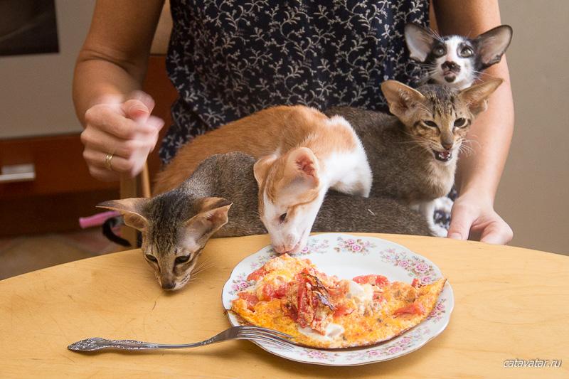 Ориентальные кошки воруют еду. Ориентальные котята. Купить ориентального котёнка. Ориентальные кошки. Питомник ориентальных кошек в Москве. Домик для кошки. Комплекс для кошек.