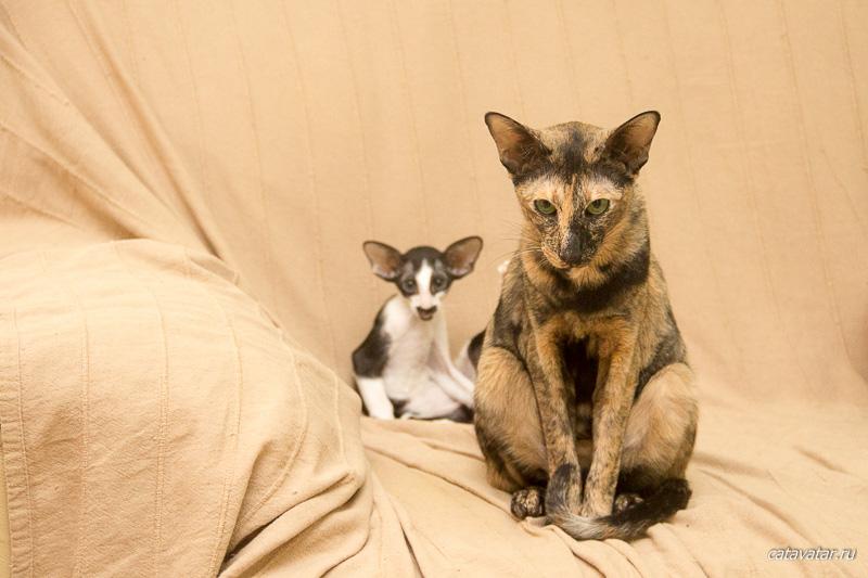 Ориентальная кошка не хочет отдавать ребёнка. Питомник ориентальных котят. Купить ориентального котёнка.