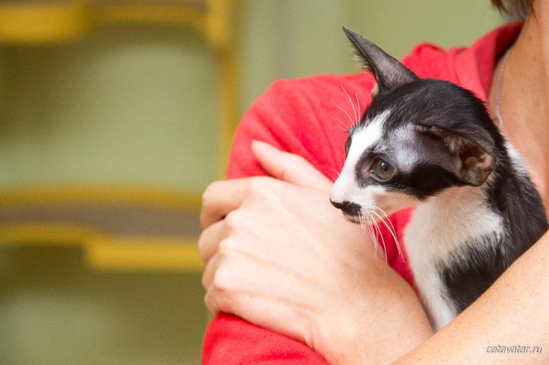 Ориентальный котёнок. Ориентальные кошки. Питомник ориентальных кошек в Москве. Купить ориентального котёнка.