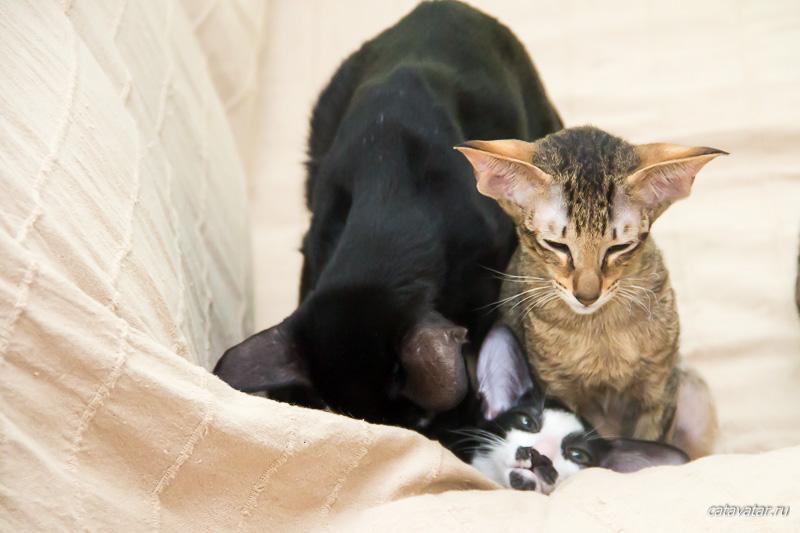 Ориентальный котёнок. Ориентальные кошки. Питомник ориентальных кошек. Купить ориентального котёнка. Рассказы о кошках. Фото ориентальных кошек.