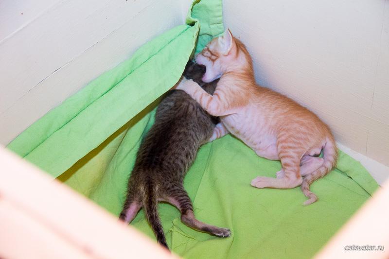 Котята в гнезде. Питомник ориентальных кошек в Москве. Купить ориентального котёнка.Ориентальные кошки. Ориентальный котёнок. Истории о кошках. Фото ориентальных кошек.