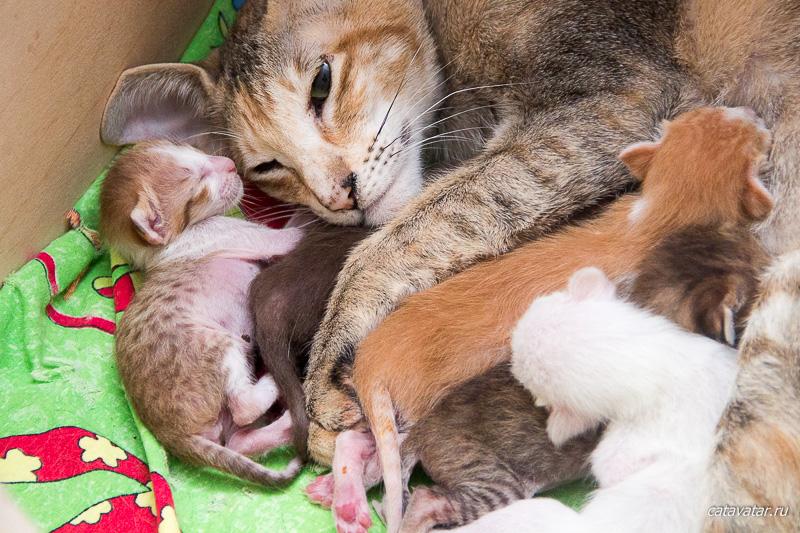 Кошка рожает. Новорожденные котята. Питомник ориентальных кошек в Москве. Купить ориентального котёнка.Ориентальные кошки. Ориентальный котёнок. Истории о кошках. Фото ориентальных кошек.