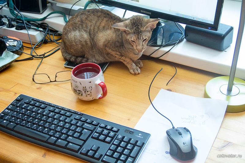 Кошка жрёт провода. Ест провода. Питомник ориентальных кошек в Москве. Купить ориентального котёнка.Ориентальные кошки. Ориентальный котёнок. Истории о кошках. Фото ориентальных кошек.