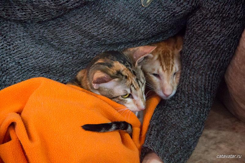Фотографии ориентальных кошек в рекламе. Питомник ориентальных кошек в Москве. Купить котёнка.Истории и фотографии о жизни кошек.