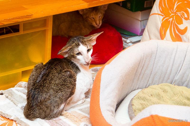 Ориентальные кошки. Ориентальный котёнок. Питомник ориентальных кошек в Москве. Купить ориентального котёнка.