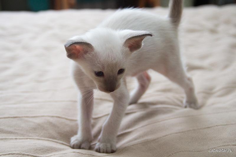 Сиамский котёнок. Питомник ориентальных кошек в Москве. Купить котёнка.Истории и фотографии о жизни кошек.
