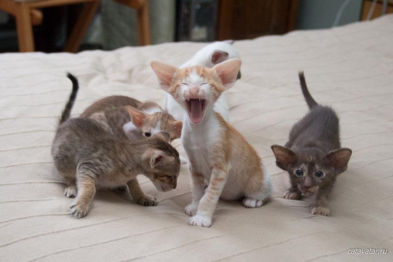 Ориентальный котёнок зевает. Питомник ориентальных кошек в Москве. Купить котёнка.Истории и фотографии о жизни кошек.
