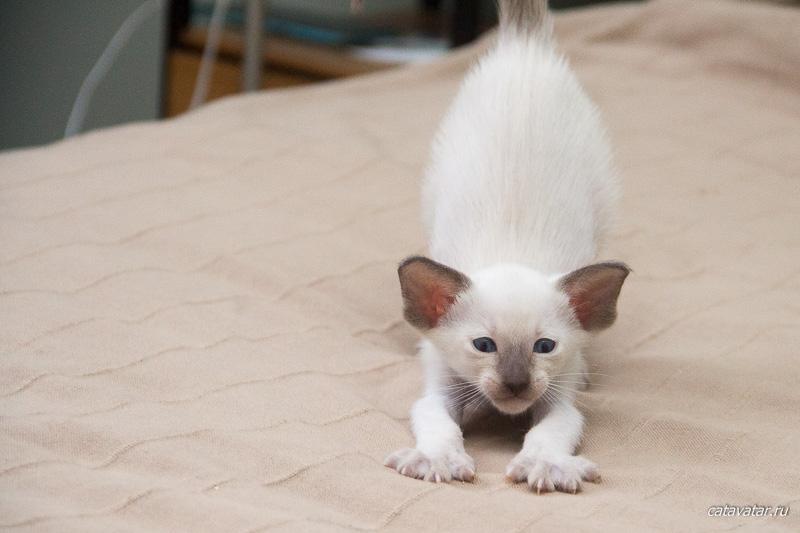 Котёнок тянется. Питомник ориентальных кошек в Москве. Купить котёнка.Истории и фотографии о жизни кошек.