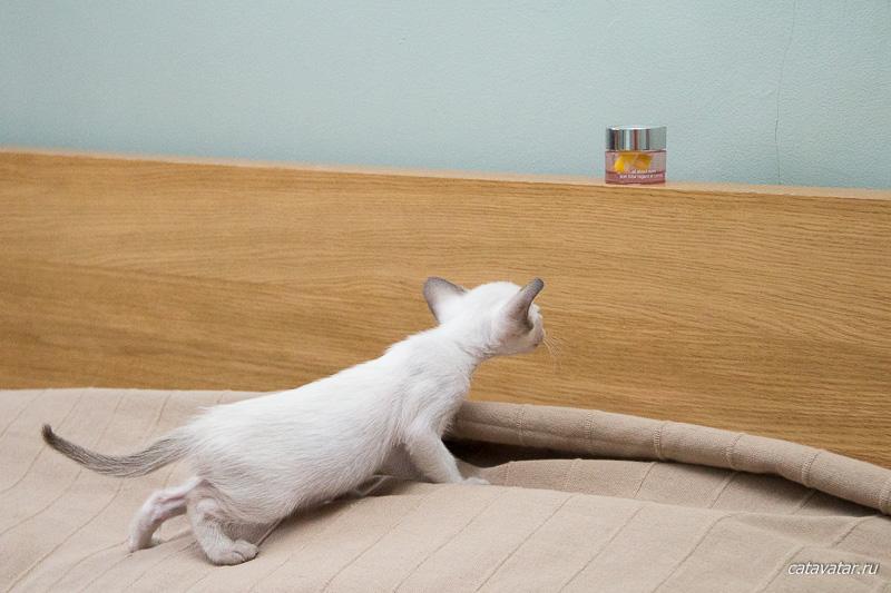 Сиамский котёнок охотится на баночку. Питомник ориентальных кошек в Москве. Купить котёнка.Истории и фотографии о жизни кошек.