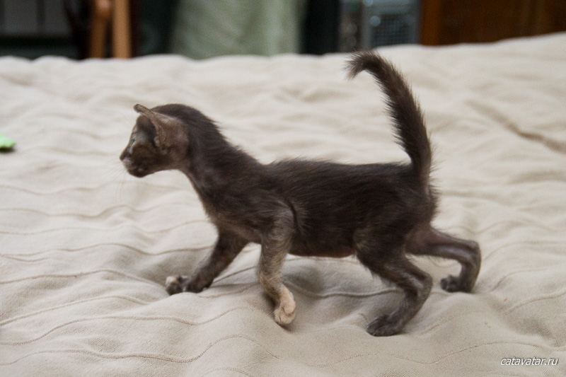 Смелая ориентальная девочка. Питомник ориентальных кошек в Москве. Купить котёнка.Истории и фотографии о жизни кошек.