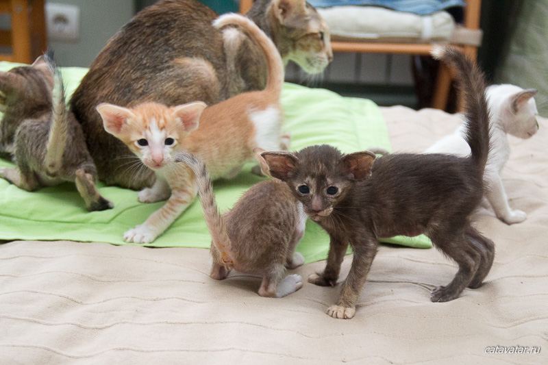 Стая ориентальных котят. Питомник ориентальных кошек в Москве. Купить котёнка.Истории и фотографии о жизни кошек.