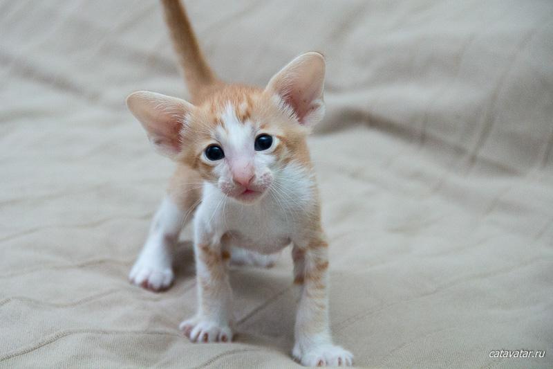 Рыжий ориентальный котёнок. Питомник ориентальных кошек в Москве. Купить котёнка.Истории и фотографии о жизни кошек.