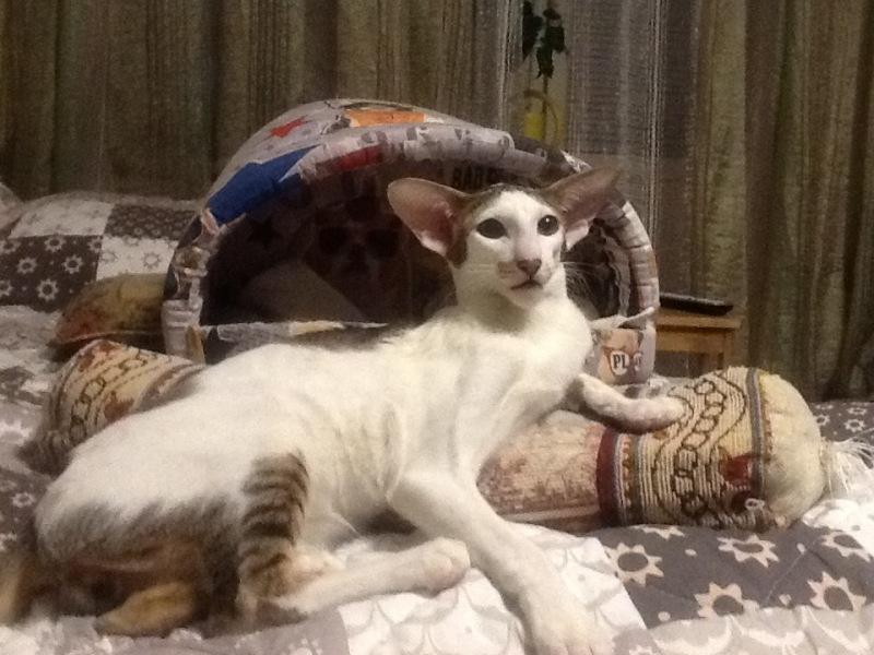 Шикарный ориентальный кот. Питомник ориентальных кошек в Москве. Купить котёнка.Истории и фотографии о жизни кошек.