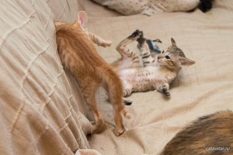Котята дерутся. Питомник ориентальных кошек в Москве. Купить котёнка.Истории и фотографии о жизни кошек.