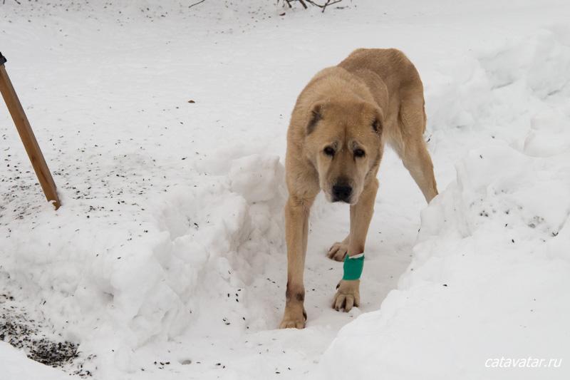 Потерялась собака алабай.