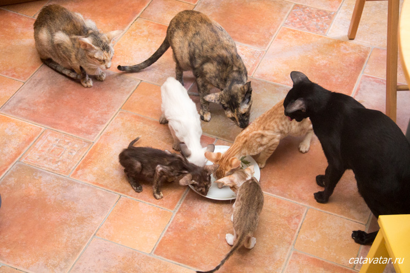 Котята знакомятся со взрослыми кошками. Питомник ориентальных кошек в Москве. Купить котёнка.Истории и фотографии о жизни кошек.