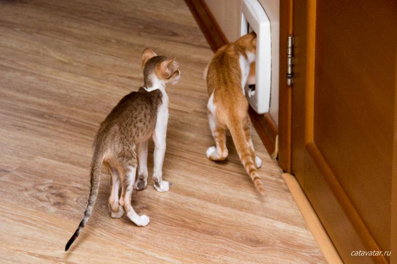 Ориентальный кот ходит в трусах. Питомник ориентальных кошек в Москве. Купить котёнка.Истории и фотографии о жизни кошек.