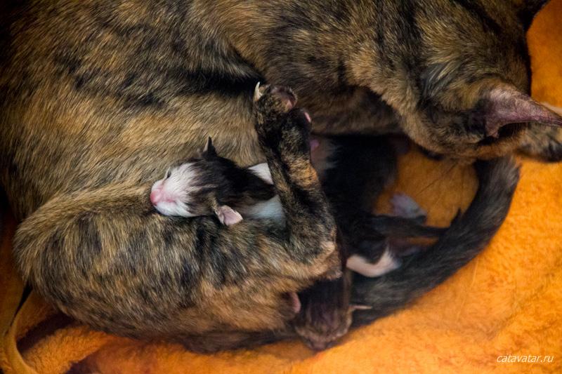 Кошка рожает. Питомник ориентальных кошек в Москве. Купить котёнка.Истории и фотографии о жизни кошек.